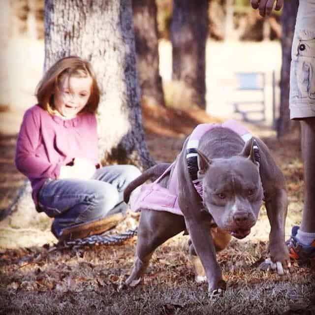 champagne colored blue pitbull