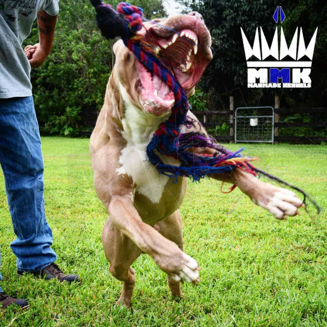 champagne pitbull puppy