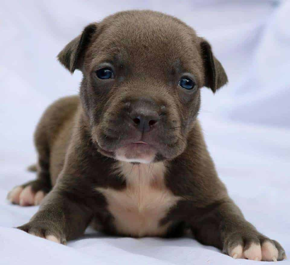 Fully Health Tested Puppies For Sale Pitbull In New South Wales Australia