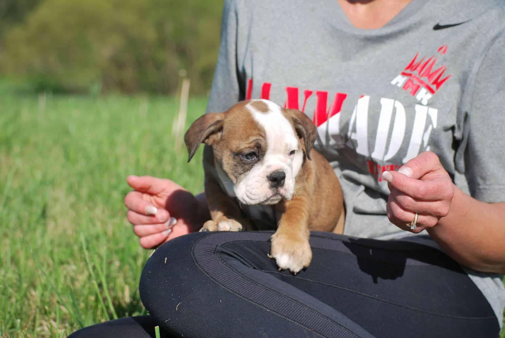 Rare English Bulldog Puppies - Manmade Kennels XL Pit Bulls