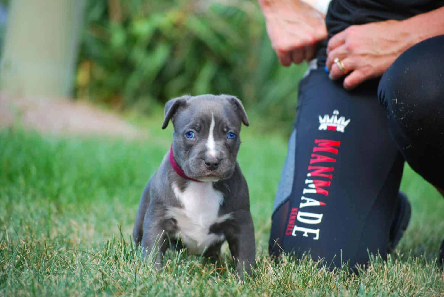 XL PITBULL PUPPIES FOR SALE | Best Pitbull Puppies for sale