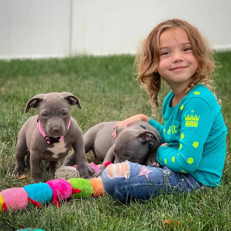 bluenose pit bull puppies for sale