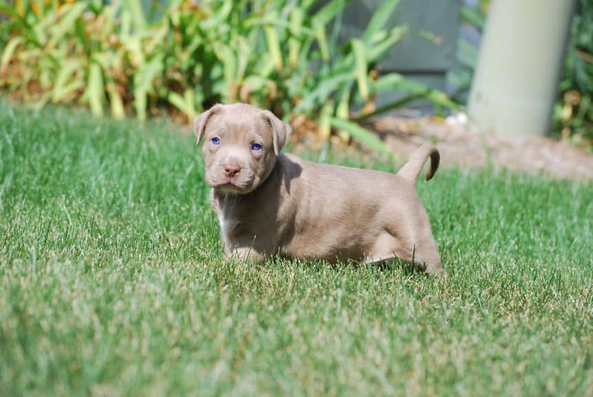 champage pitbull puppies for sale