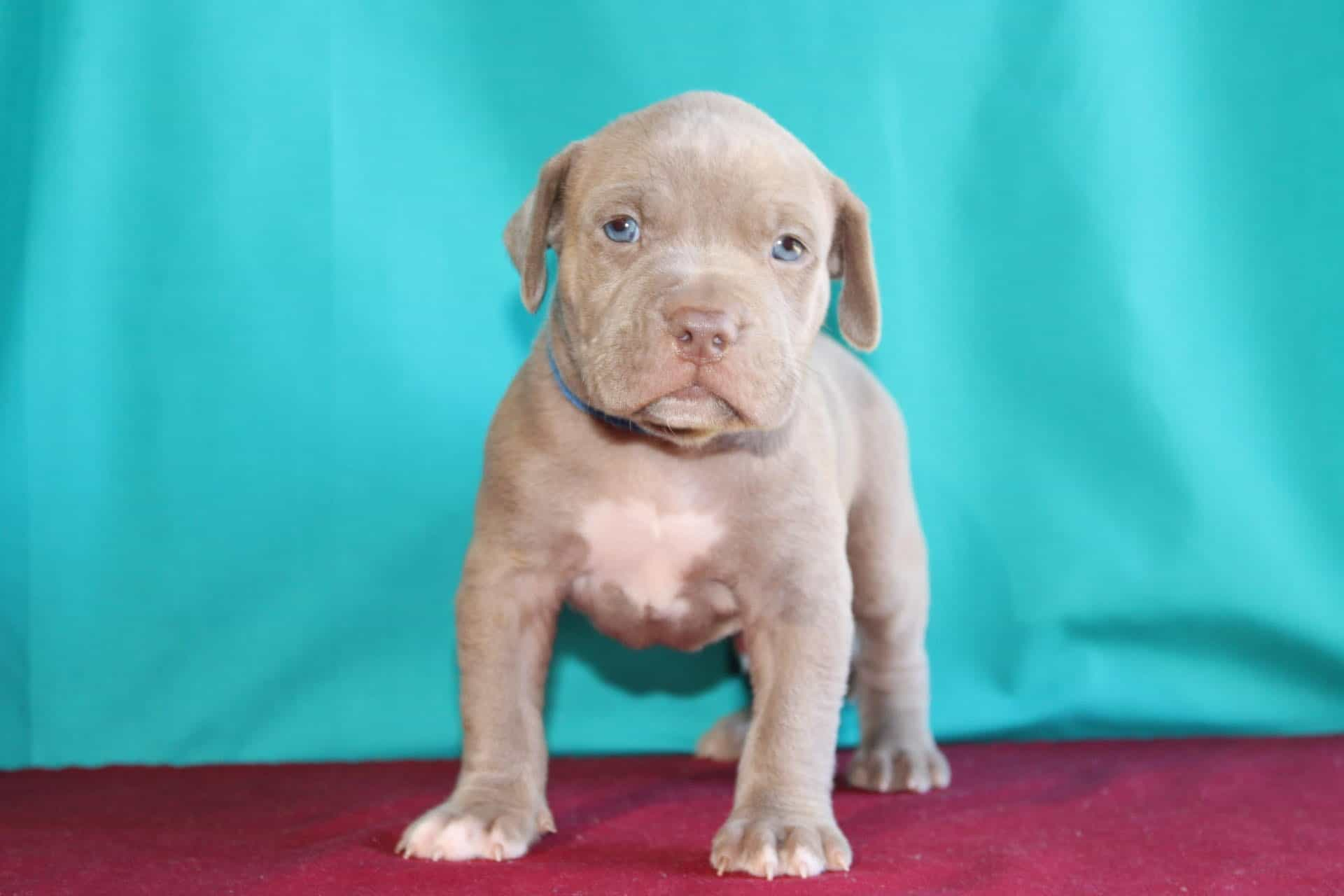 pitbull puppies for sale near me