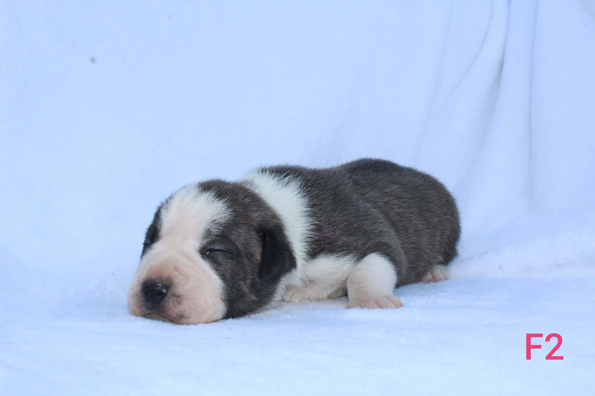 pitbull puppy for sale