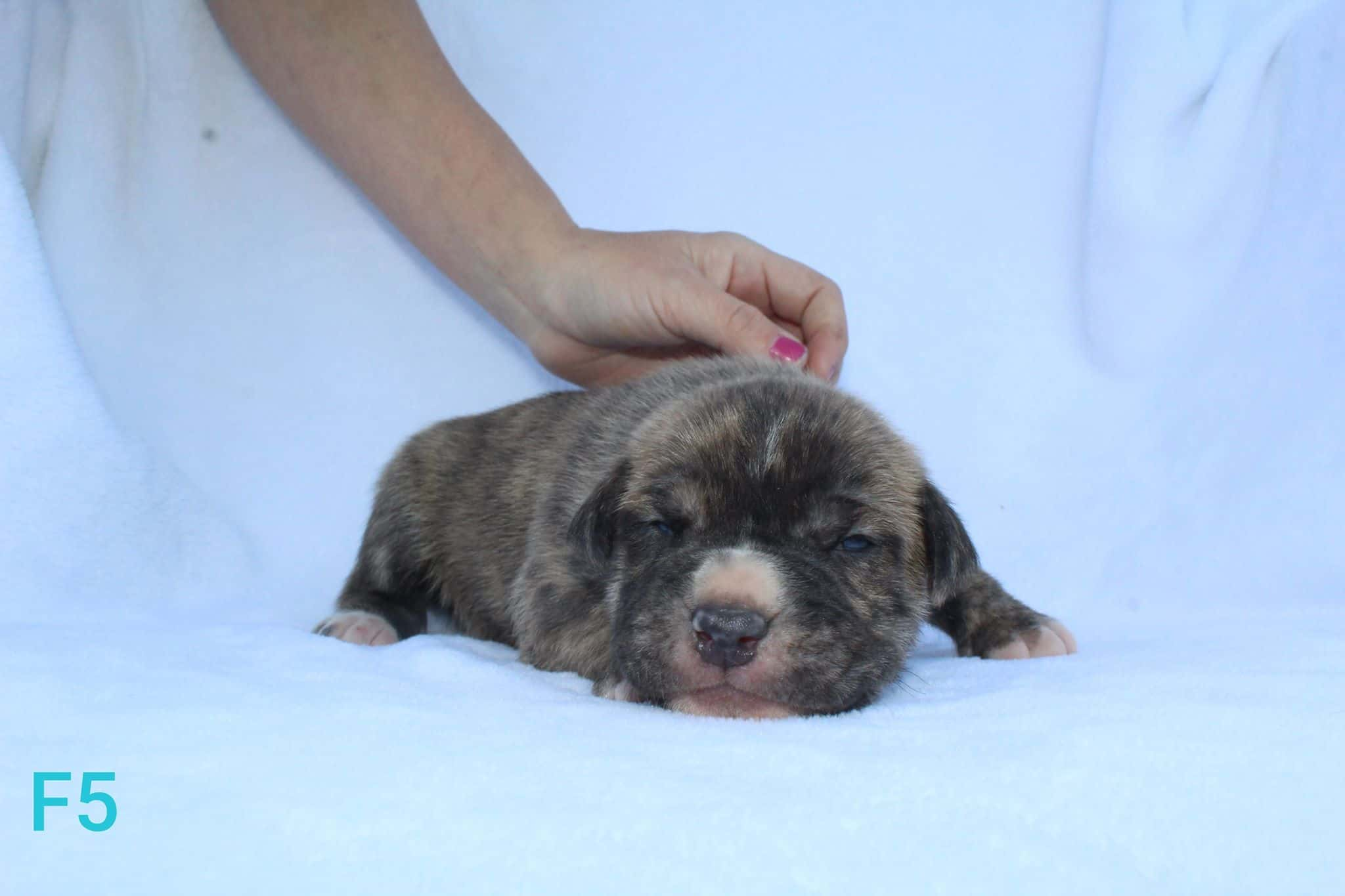 brindle pit bull puppy for sale